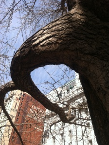 Tree limb grown curving backwards around its own trunk